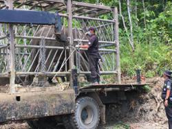 Umas the elephant translocated from Felda plantation to Gunung Rara Forest Reserve