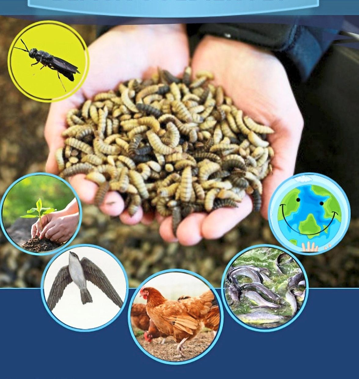 Black soldier fly larvae are said    to be high in protein and     are used in  livestock and fish breeding as well as in producing fertiliser. — Photo: AI Ansar Farm Facebook page.