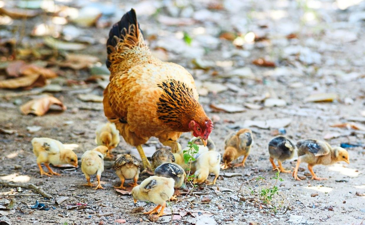 A Cochin hen with her chicks.