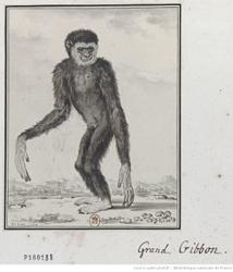 The word gibbon originated in an Orang Asli language, researcher discovers