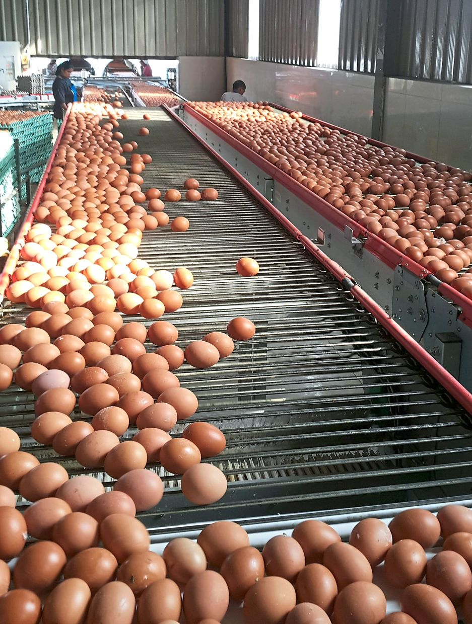 Eggs galore: Liang Kee's egg production, sold under the LK Fresh brand, goes up to 500,000 a day