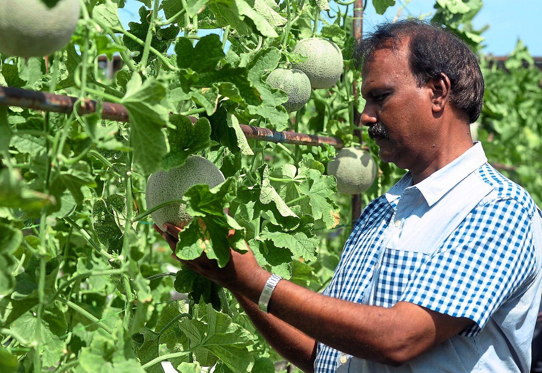 Hands on: Manickavasagam keeping an eye on his produce. — Bernama