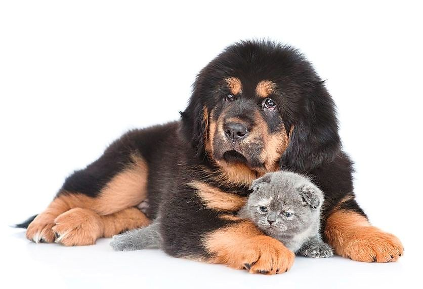 Powerful and massive, the Tibetan Mastiff dog is also gentle and sweet-natured.