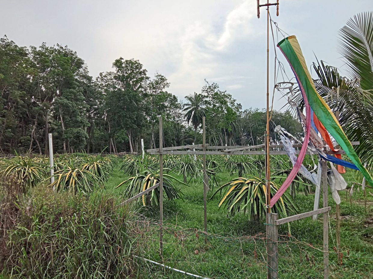 Sepang is also famous for its dragon fruit farms. — Filepic