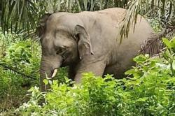 Male elephant captured in Kemaman by Perhilitan