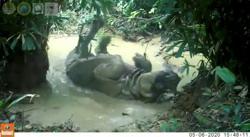 Rare Javan Rhino captured on hidden camera in gleeful mudbath