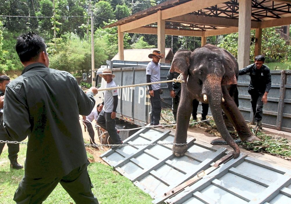 An elephant being relocated to Kenyir Elephant Conservation Village.