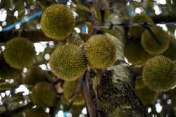 CW durians fully booked even before ripening