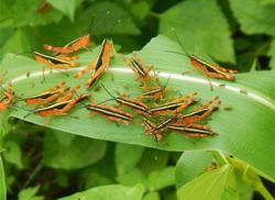 Thailand 'not a suitable host' for locusts in India, Laos