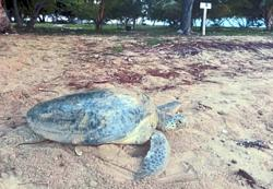 Turtle eggs drop off the menu in Sabah