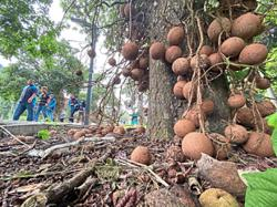 Curious case of the cannonball trees