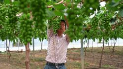 Disabled workers find opportunity at grape farm