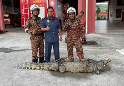 Johor Fire and Rescue personnel capture 3m crocodile, hand it over to Wildlife Dept