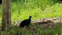 Rare pheasant, seen only twice in last 50 years, appears in Thai wildlife sanctuary