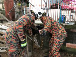 Johor firemen kept busy catching snakes, monitor lizards