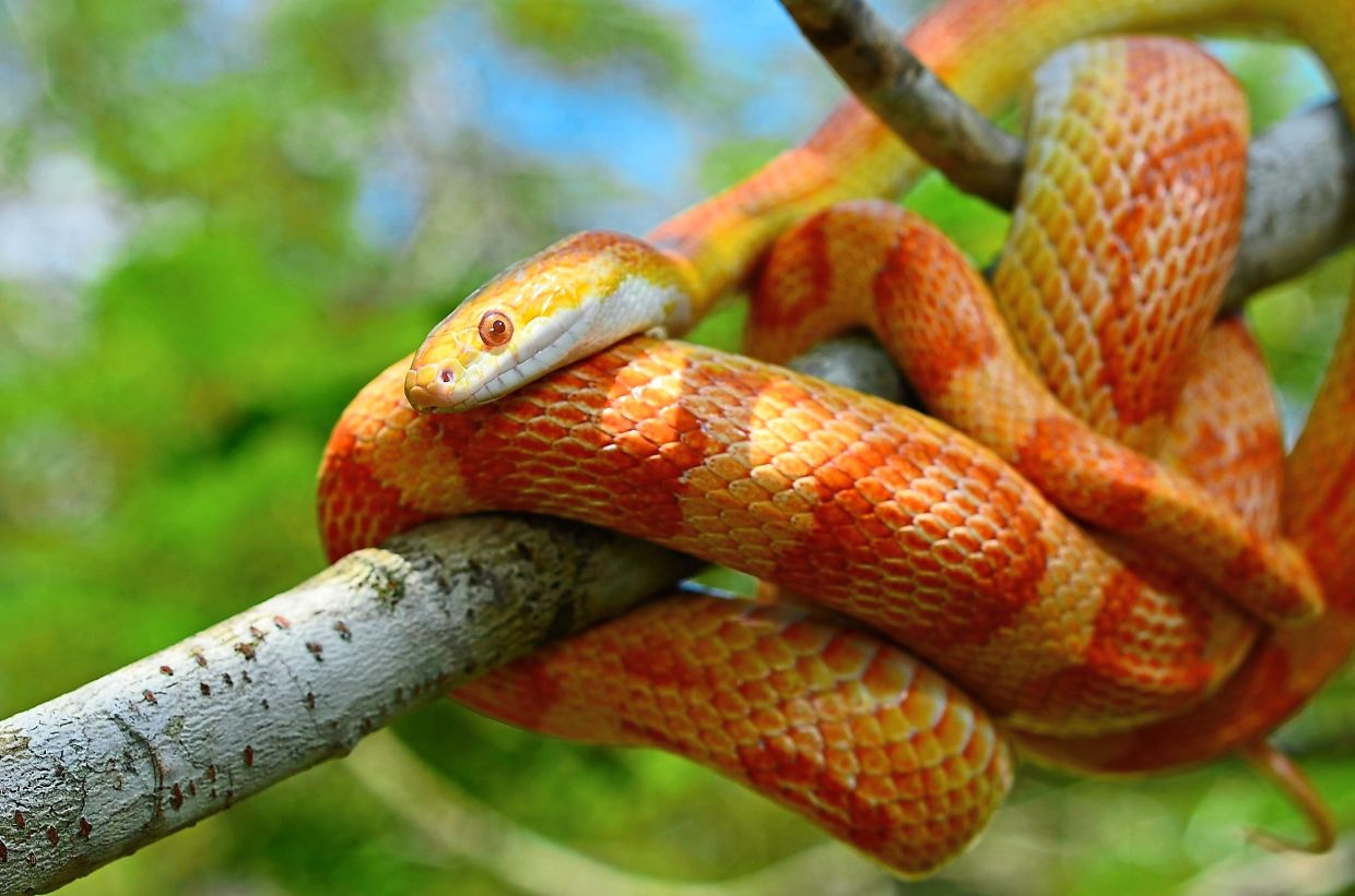 A corn snake would be a good choice if you prefer slithery reptiles. — 123rf.com