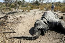 Botswana finds more dead elephants, says test results due this week