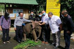 Sahabat, the injured baby elephant on its way to full recovery