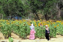 Sunflower field drawing local tourists to Perlis