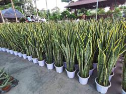 Nurseries see demand for indoor plants during MCO