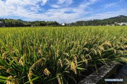 Asia Rice: Thai rates hit 4-month low, Vietnam jumps as heavy rains persist