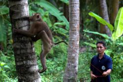 Thai monkey trainer rejects PETA claims on coconut harvesting (update)