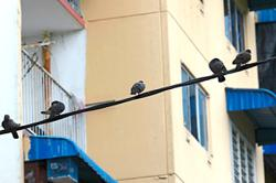 Penang to act on pigeon issue