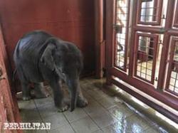 Perhilitan rescues lost baby elephant in Kota Tinggi, Johor