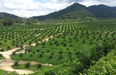 Some 318 ha of oil palms were replanted in FY2019 compared with 239 ha in FY2018 for its Malaysian plantations, according to the report.