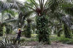 Palm oil may see full recovery in Q4