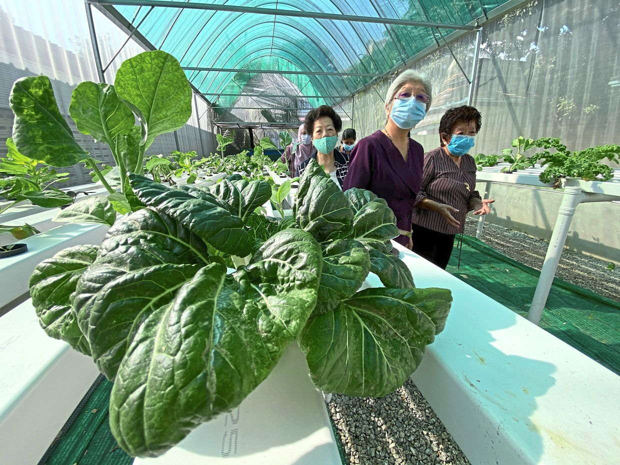 Chong Eng (in purple) with Ong (right) and other      members admiring the   greens grown at Aquaponics nursery at the Women's Welfare Council premises in Babington Avenue, Penang.