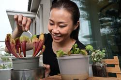 Some turn to carnivorous plants to fight chikungunya