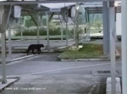 UiTM confirms black panther sighting at Kuala Pilah campus