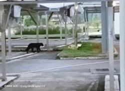 Black panther spotted at UiTM campus