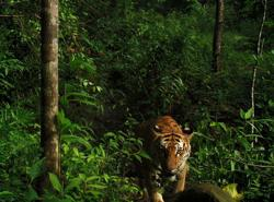 New tiger sightings in Thailand raise conservation hopes