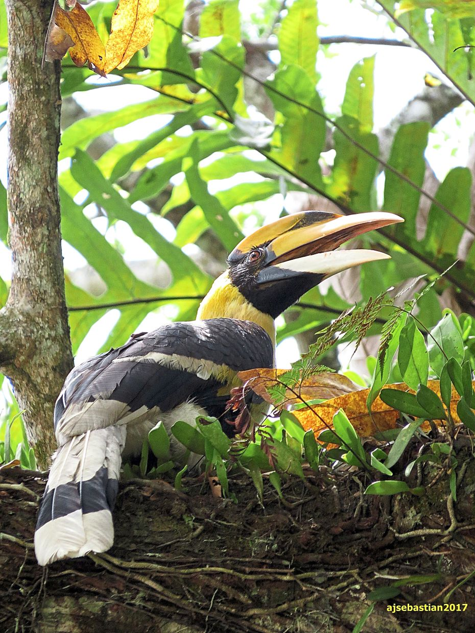 The Great Hornbill is one of the largest of its kind.
