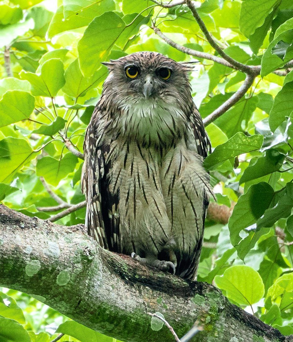 This Brown Fish Owl was the highlight of Lim's recent birdwatching trip. — WILBUR GOH