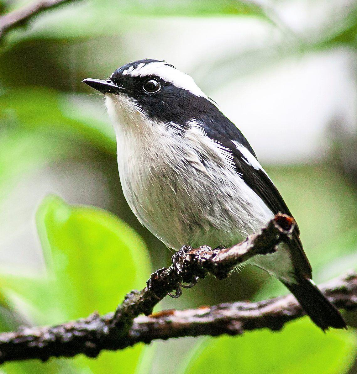The striking black-and-white Little Pied Flycatcher that started Lim's birding journey. — WILBUR GOH