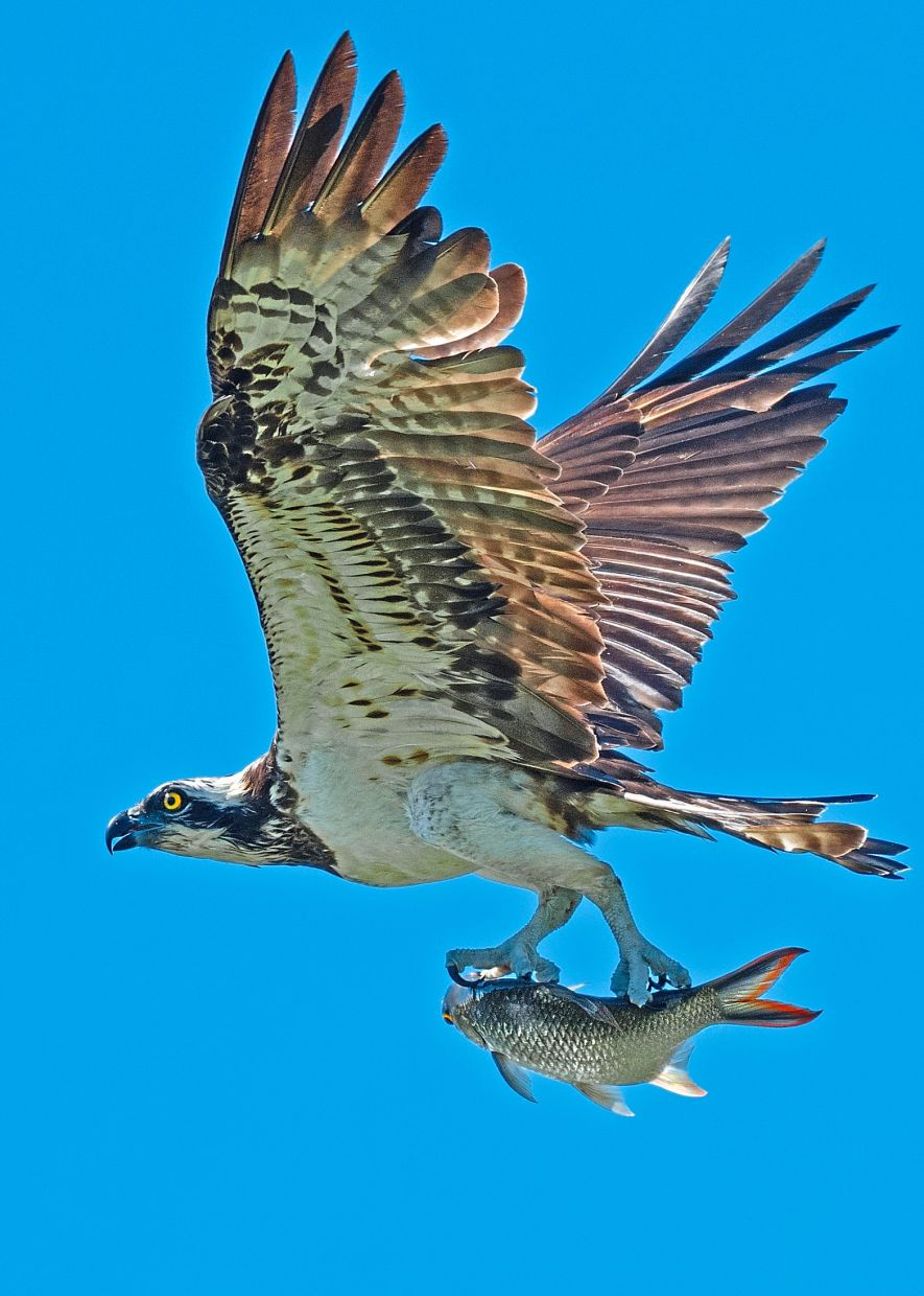 The majestic Osprey has large and curved talons to catch fish. — JASON TEO