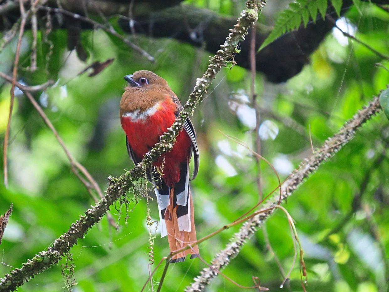 The Red-Headed Trogon female in Fraser's Hill. — THOMAS SIMON