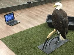 Americans are inviting actual birds of prey to join Zoom meetings