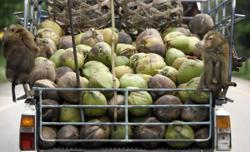 Thailand assures Europe that monkeys that pick coconuts are not abused