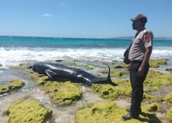 Another pilot whale found dead on Indonesian beach