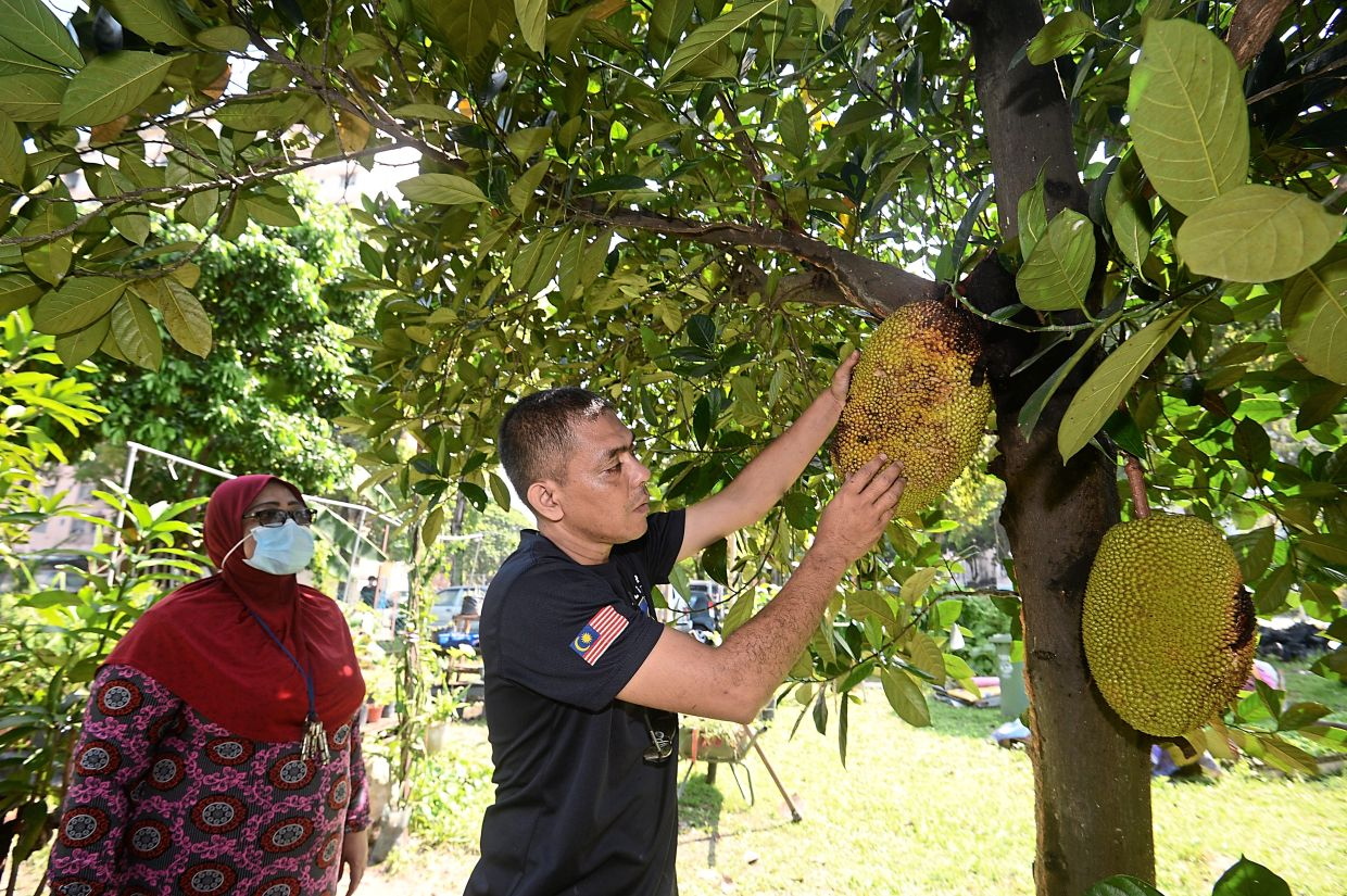 Zuredisham checking on jackfruits to see if they are ripe. These are just one of the trees that residents have planted in Sungai Keroh, Kepong.