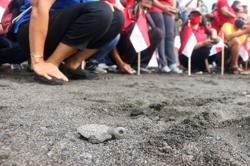 Thousands of baby turtles get first taste of the sea