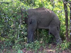 Three problematic elephants captured in Kota Tinggi
