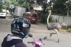 Philippines to investigate owner of ostriches running in the streets