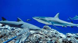Threatened predators, reef sharks are losing ground