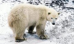 Polar bears could be extinct by the end of this century