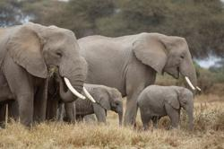 Kenya elephant numbers more than double in 1980-2018 - tourism minister